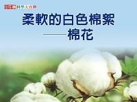 柔軟的白色棉絮 [有聲書]:棉花